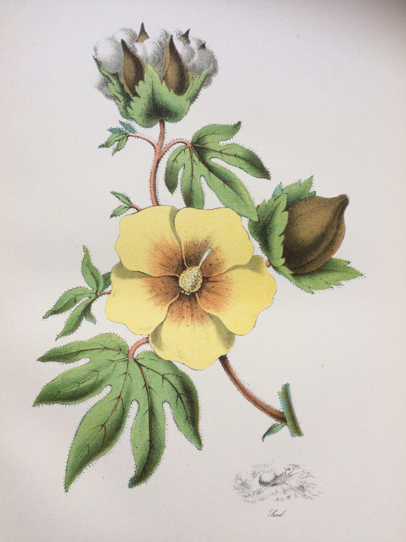1891 Cotton Plant Original Antique Encyclopaedia Illustration ...