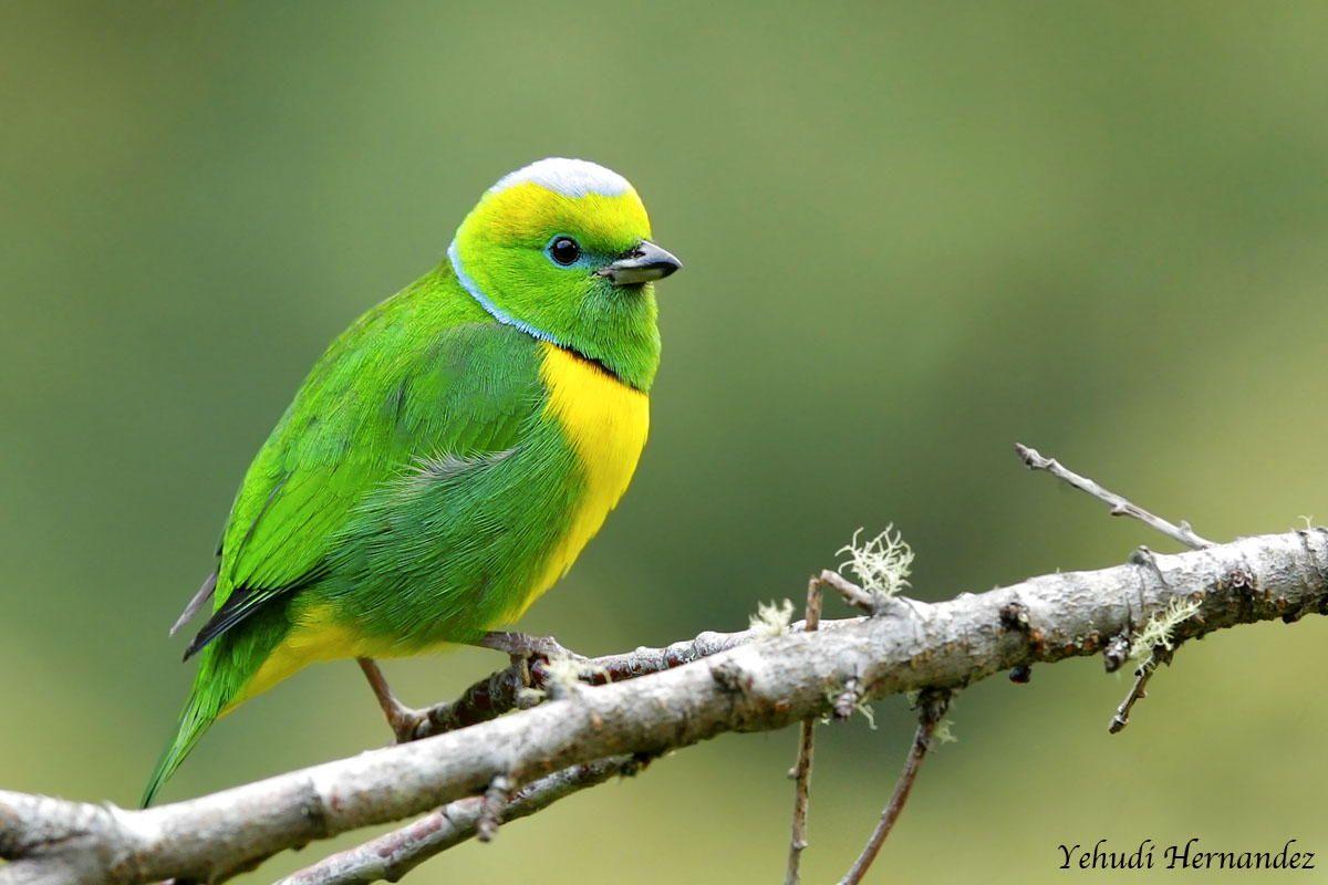 Clorophonia By Yehundi Hernandez Birds Bird Feathers Beautiful