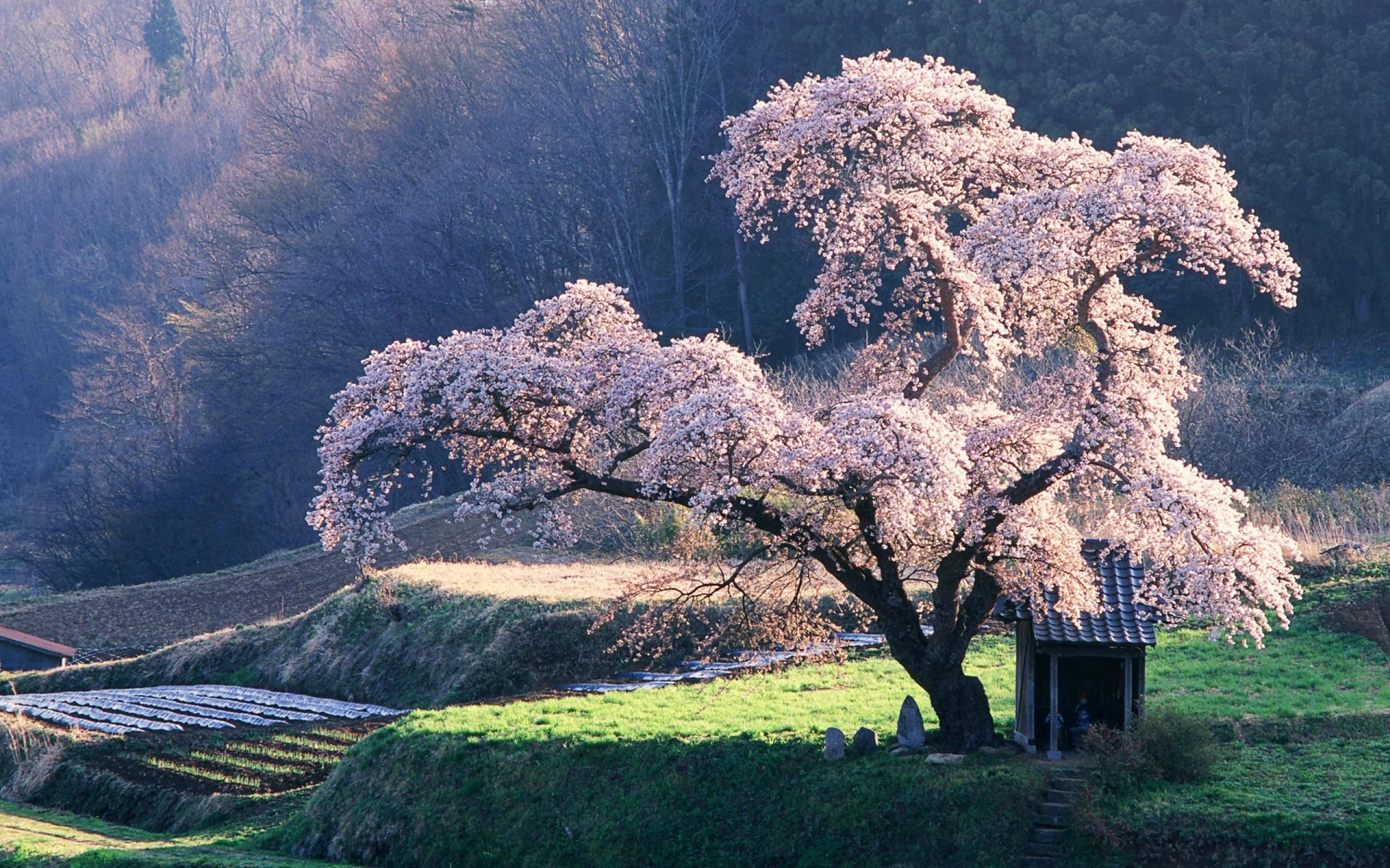 Sakura Nature Japan Landscapes Cherry Blossoms Trees Grass Fields 780088 2560x1600