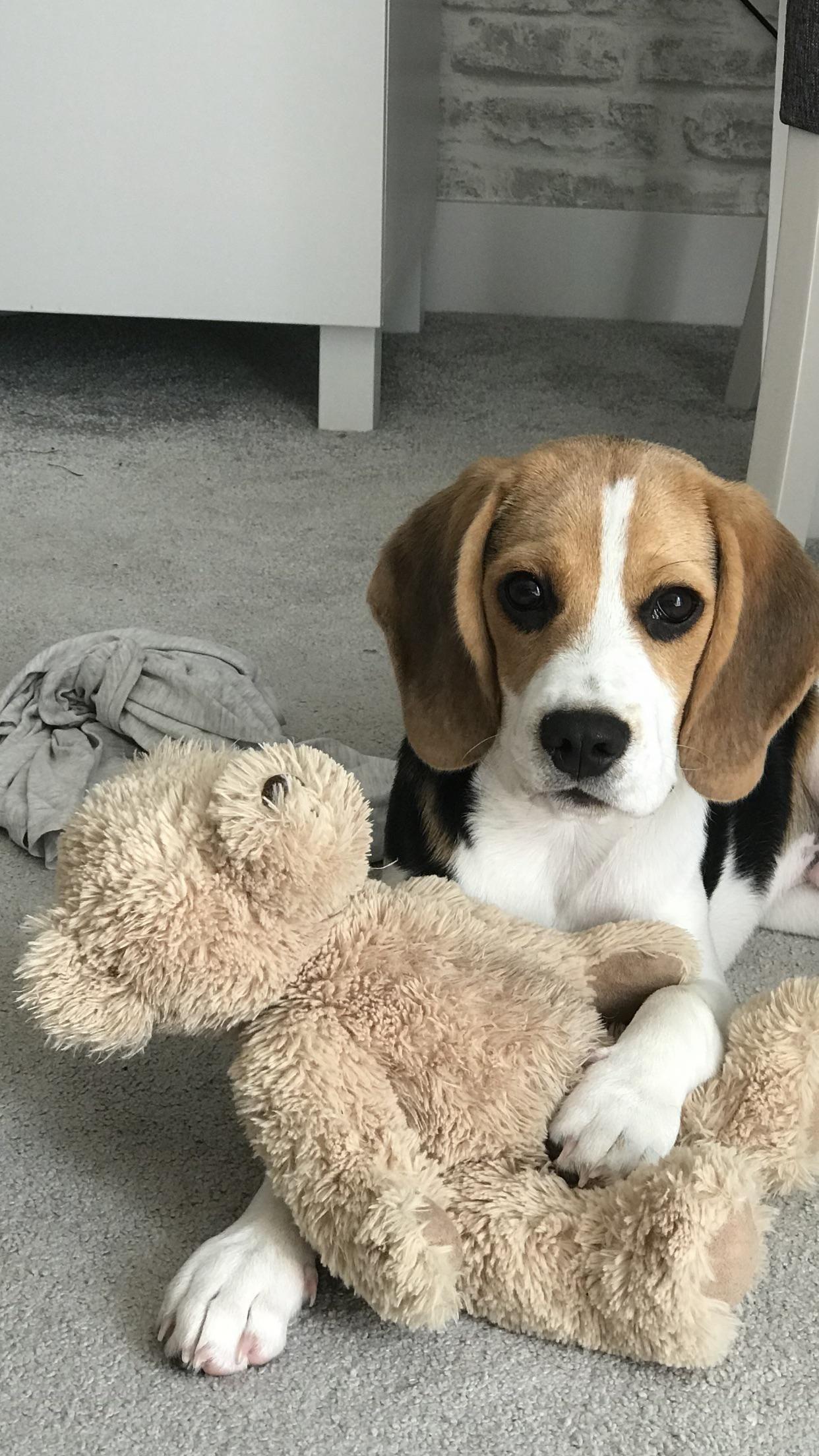 Https I Redd It 7zori0xin2931 Jpg Beagle Dog Cute Beagles Beagle Puppy