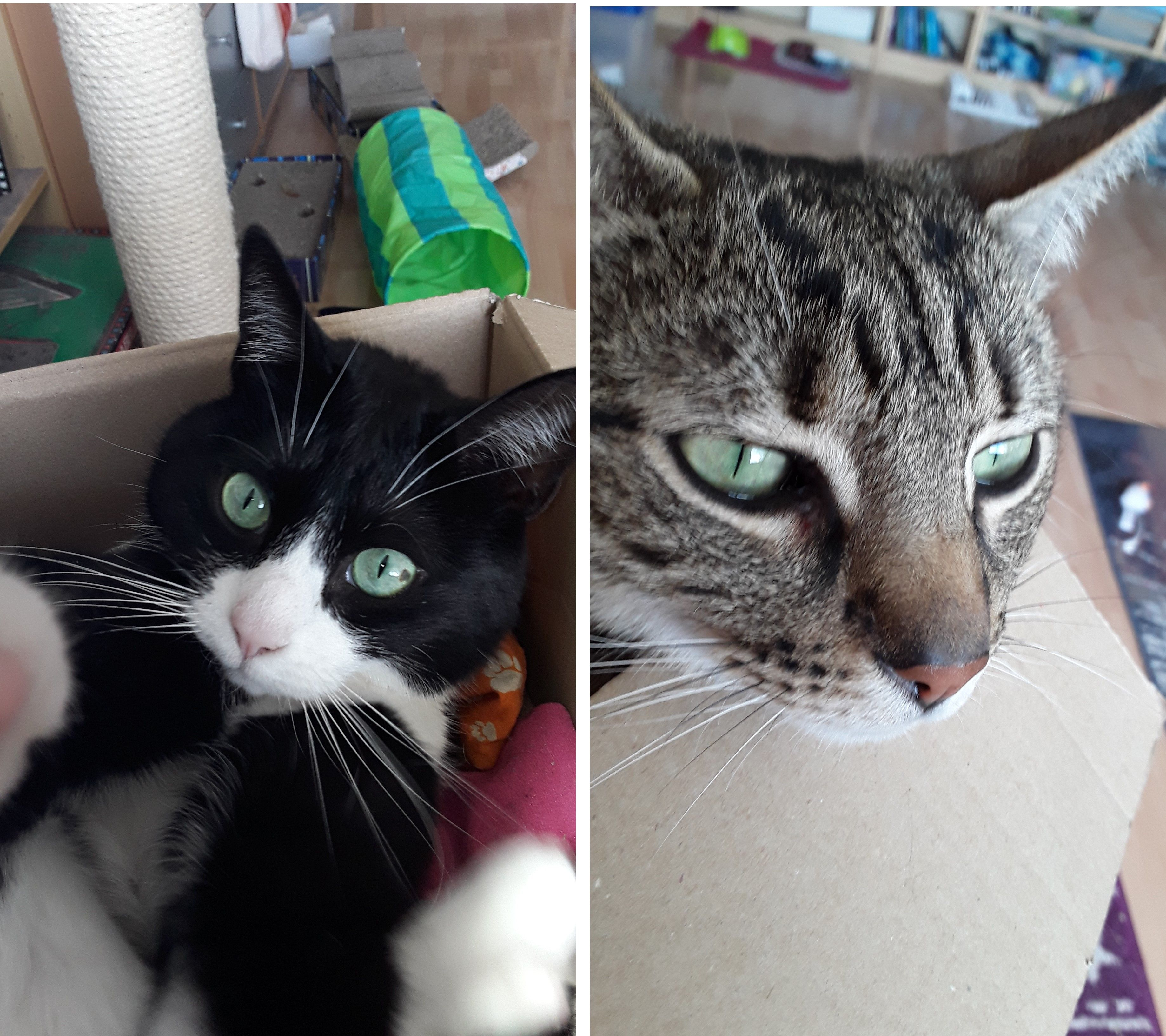Finally Managed Some Great Closeups Of Our Cat Siblings All It Took Was An Old Amazon Box And A Bit Of Catnip Reddit Meet Sia Left A Cats Catnip Amazon Box