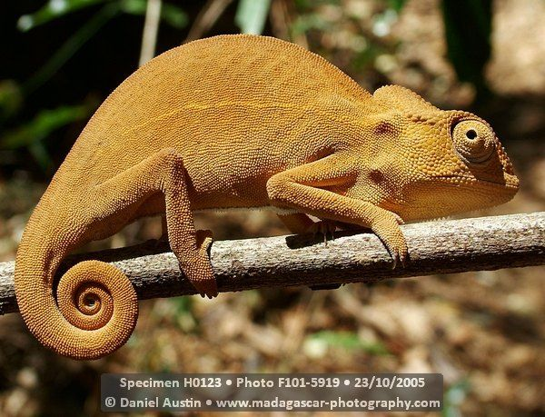 Furcifer lateralis chameleon at Isalo National Park in Madagascar