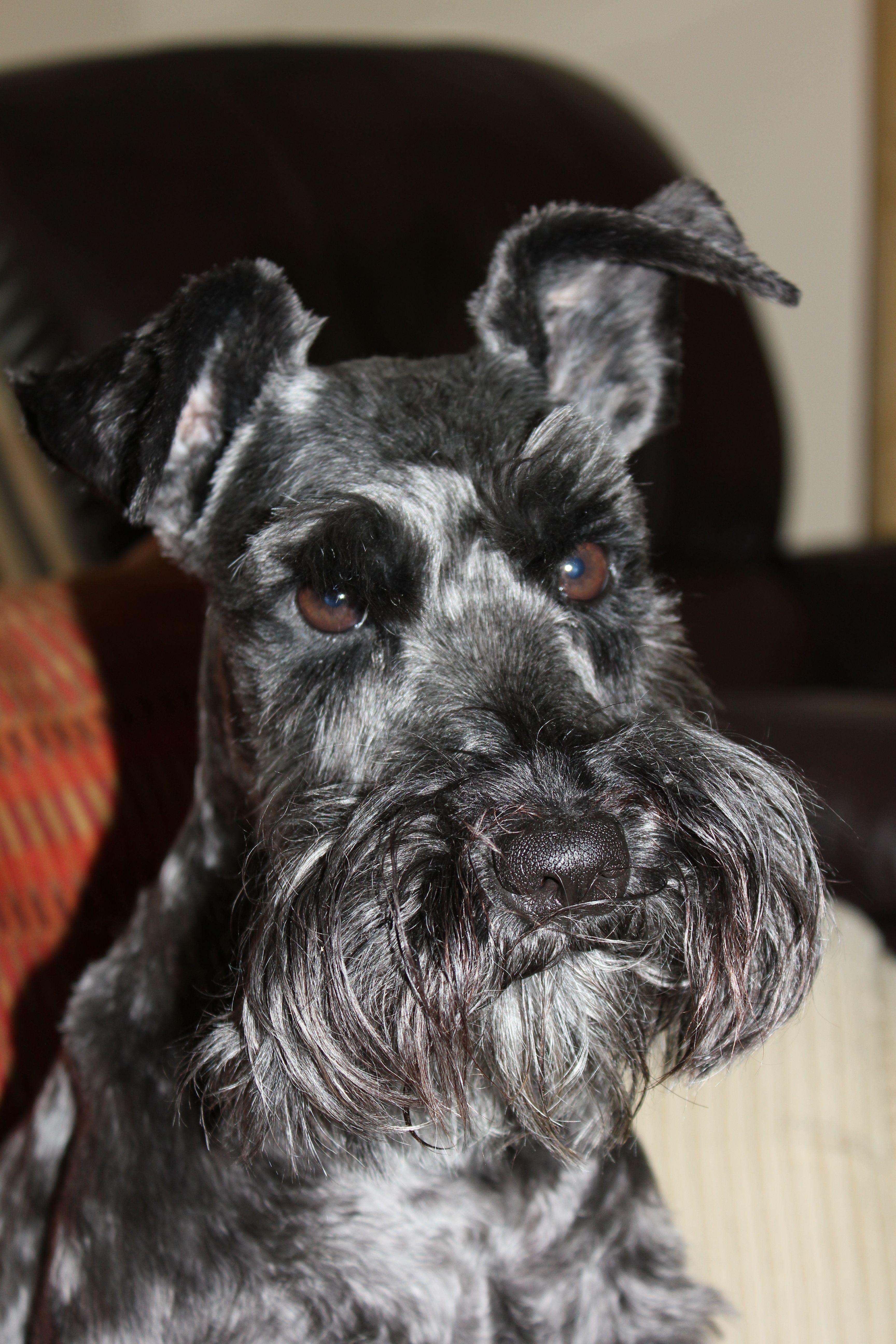 Manny C Mini Schnauzer Dogs Schnauzer