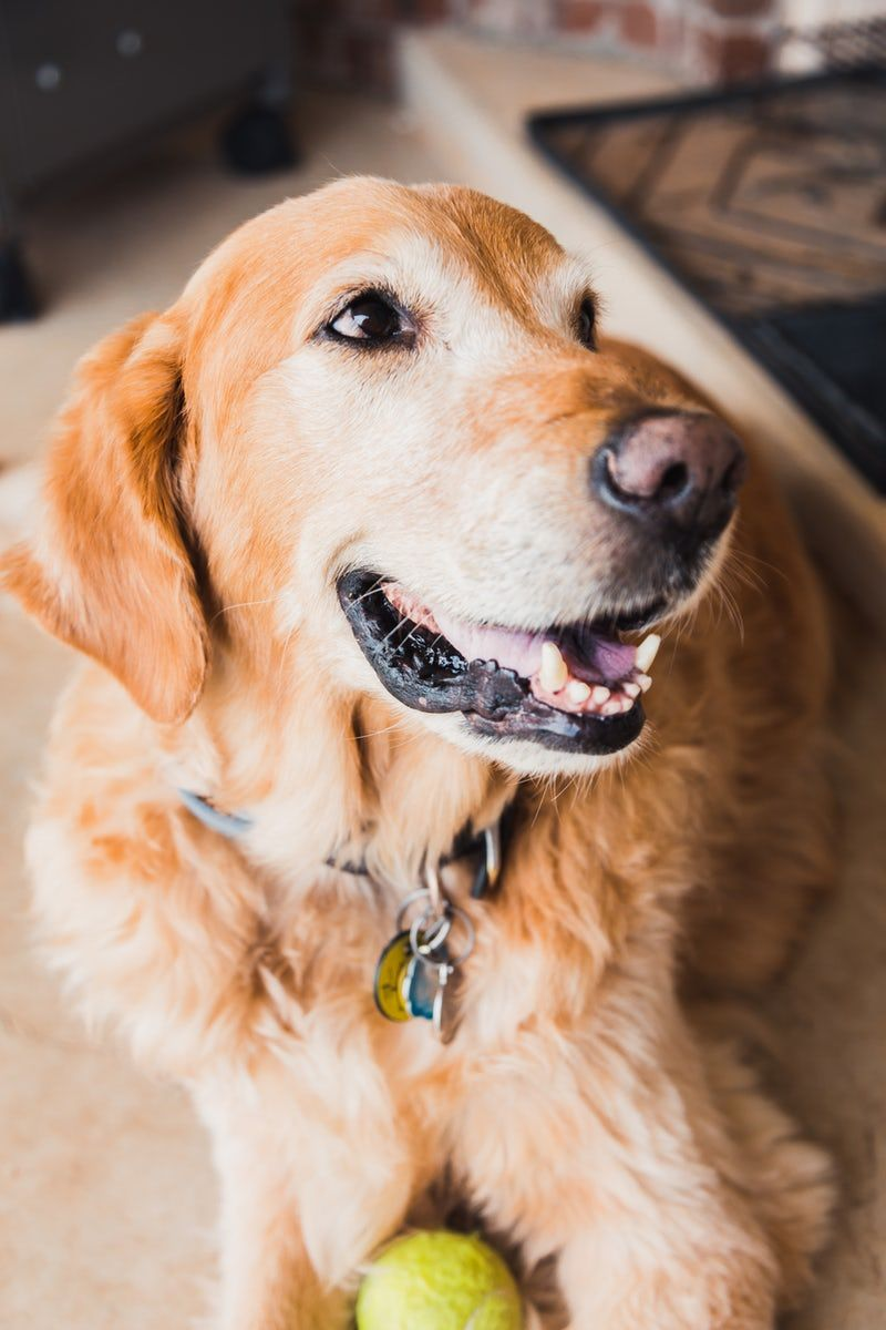 Such a happy, smiling golden retriever. Dogs golden
