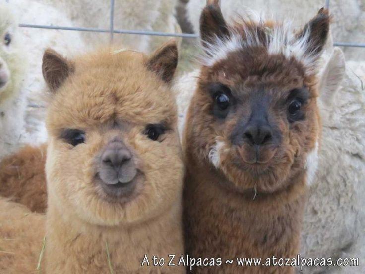 fluffy baby alpaca google search baby alpacas awwwww