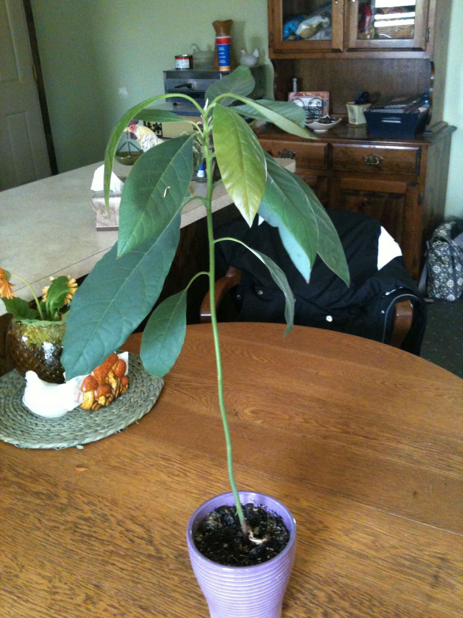 Avocado tree from a seed with images avocado tree