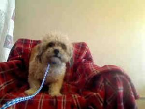 Adopt Mason On Lhasa Apso Australian Cattle Dog Dogs