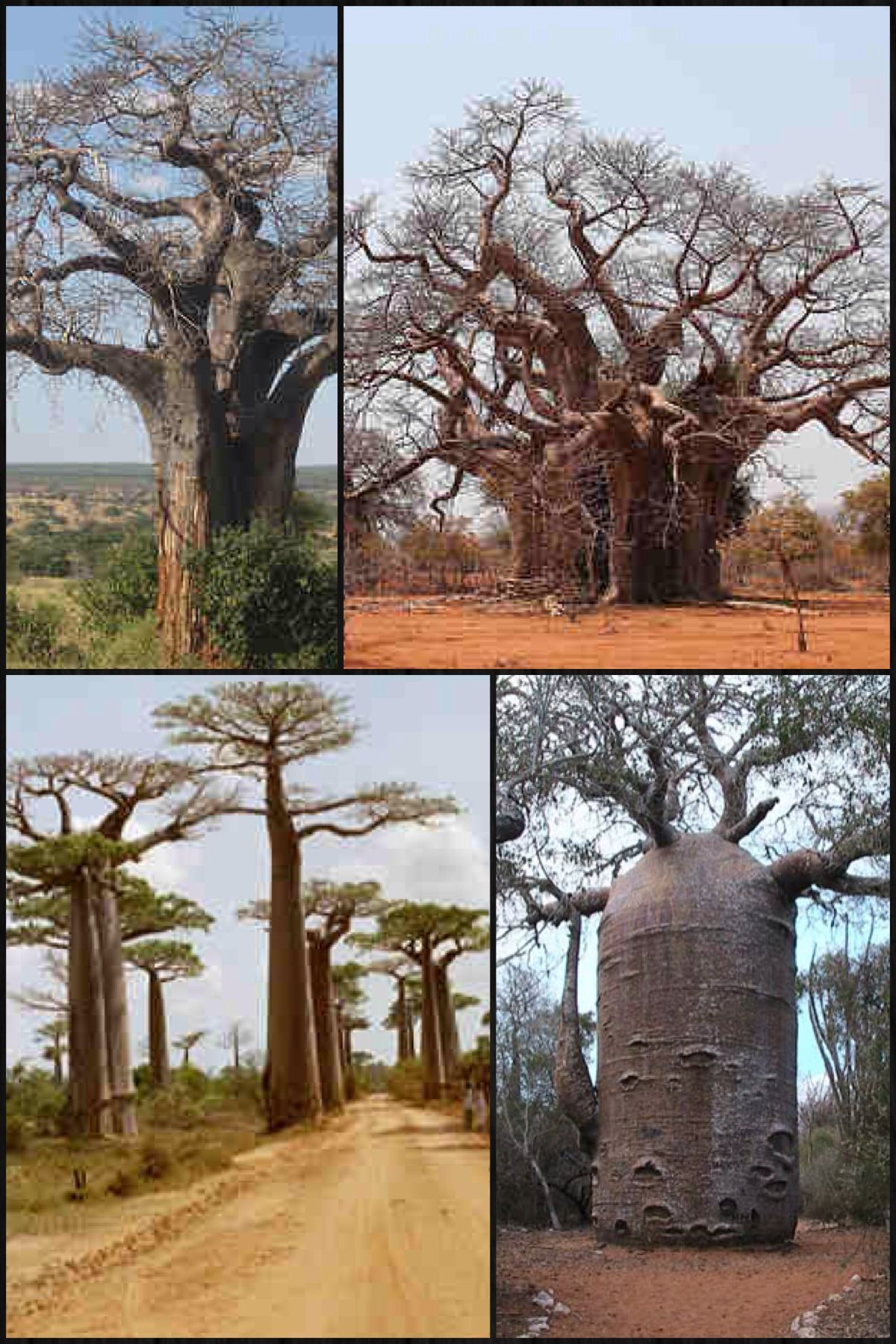 Water storage · Magnificent Trees of the World  The amazing baobab [wiki] (Adansonia) & Magnificent Trees of the World: