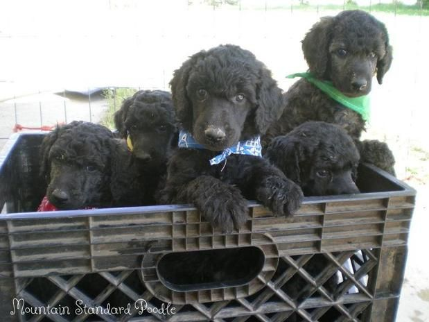 Mountain Standard Poodle puppies