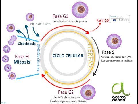 Ciclo Celular Ciclo Celular Ensenanza Biologia Biologia Avanzada