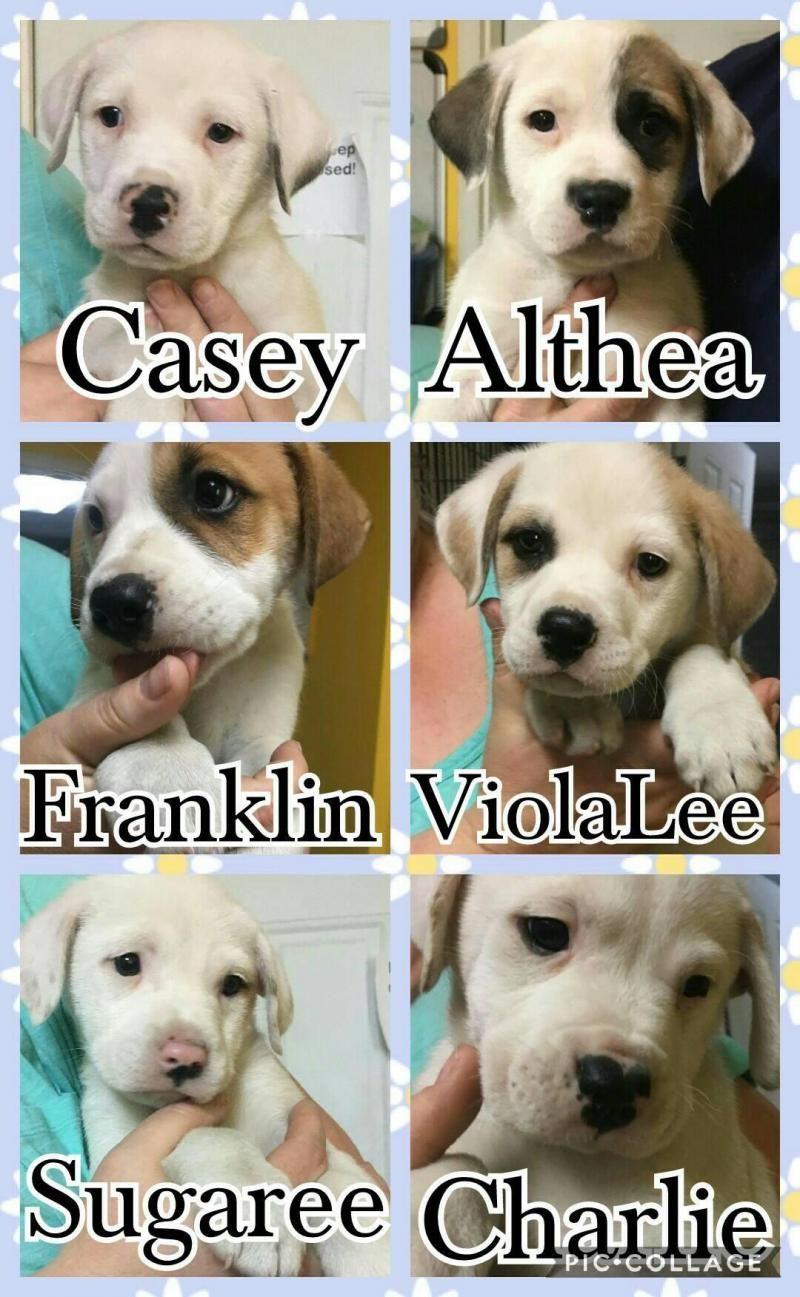 Adopt Boxer Bulldog Pups On Boxer Bulldog Pup Boxer