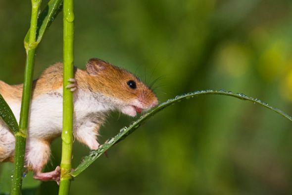 一隻巢鼠正在喝一根草葉上的露水 by s shl mice pinterest