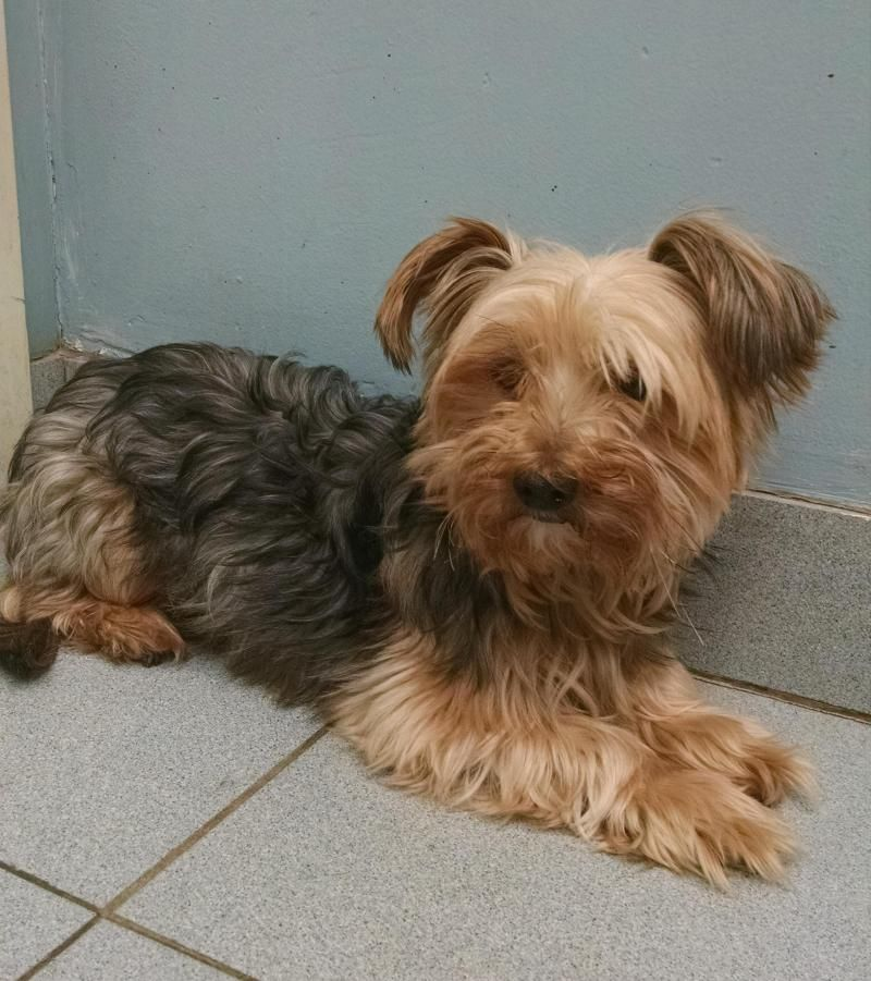 Adopt Edward on Yorkshire terrier dog, Buffalo animal