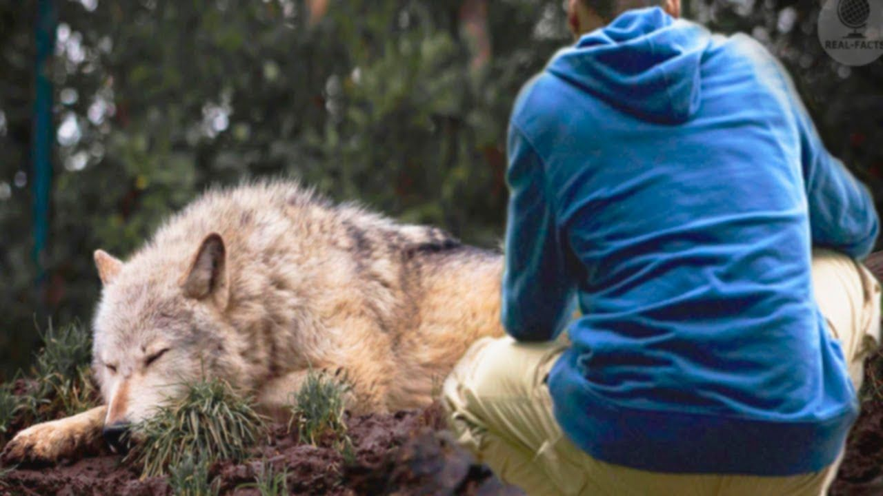 A Man Saved A She Wolf From A Trap A Few Years Later She Saved