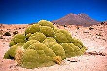 Azorella compacta, Bolivia