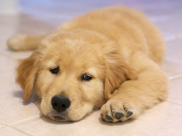 10 Week Old Golden Retriever Puppy Golden Retriever Dogs Golden