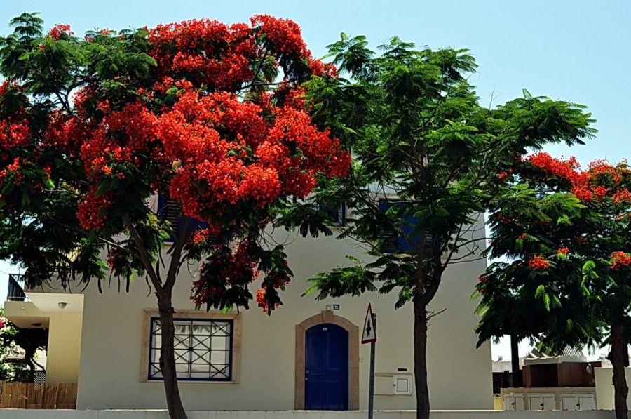 Делоникс  королевский  (огненное  дерево).  http://annamilana.livejournal.com/107783.html