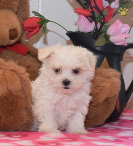Lady Mal Chon Puppy For Sale In Sugarcreek Oh Lancaster