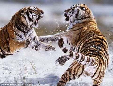Peleas Animales Salvajes Animales Feroces 18