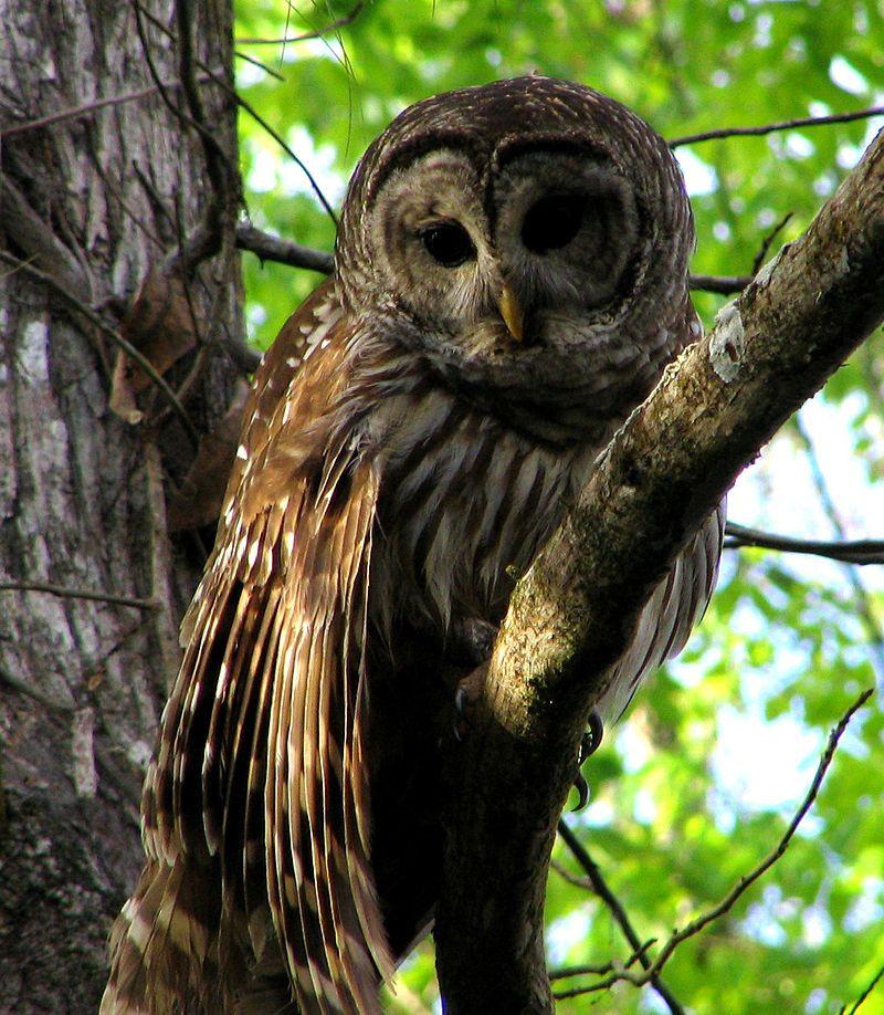 Hontoon Dead - Barred Owl - Barred owl - Wikipedia, the free encyclopedia