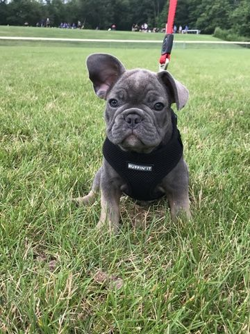 French Bulldog Puppy For Sale In Waterbury Ct Adn 38200 On