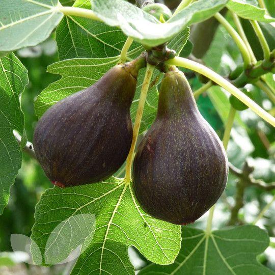 Fig Brown Turkey Blackmoor Nurseries Texas Gardening Exotic Fruit Tree All Plants