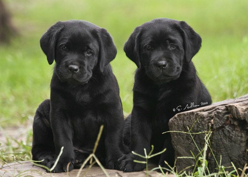 Black Lab Puppies From Dickendall Our Tank Who Is 14 Came From