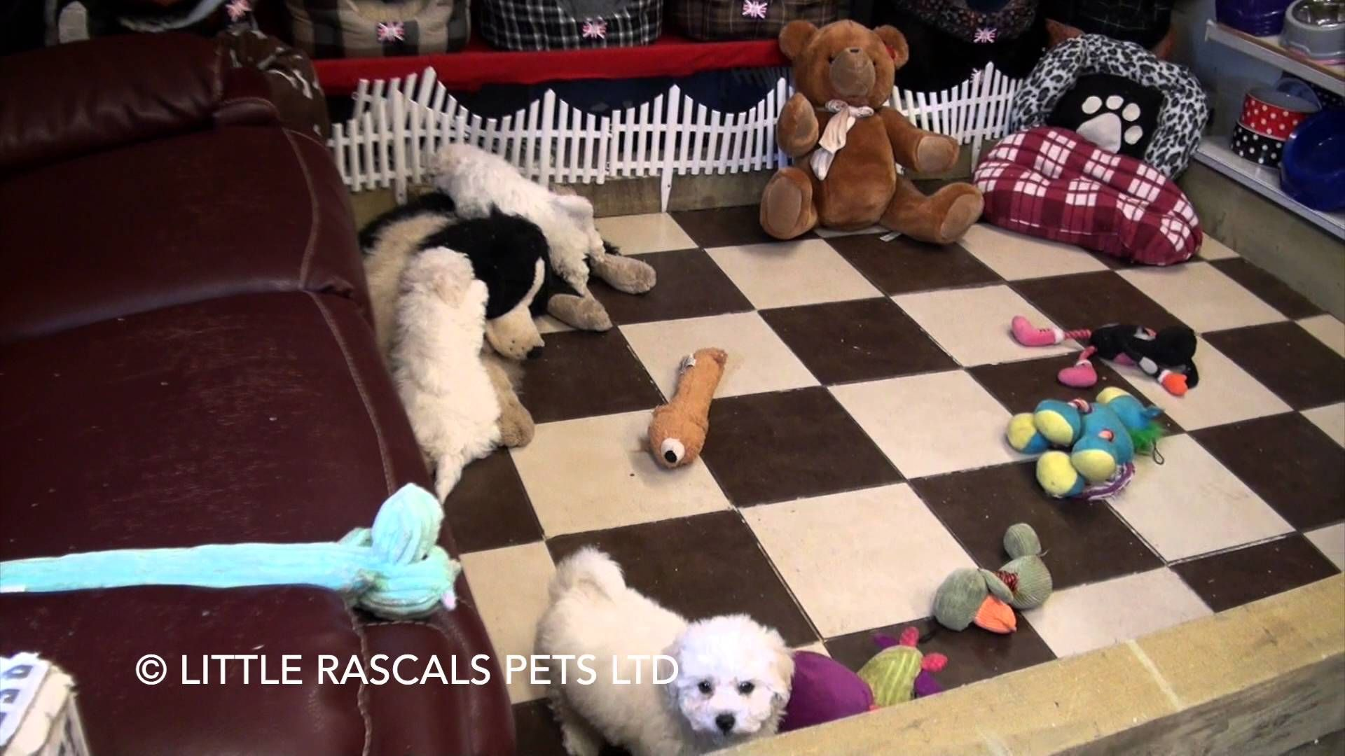 Little Rascals Uk Breeders New Litter Of Poochon Boys And Girls Puppie With Images Puppies For Sale Boy Or Girl Puppies