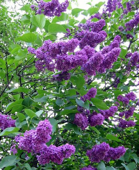 Building A Home Landscaping Continued Lilac Tree Purple Garden Trees To Plant