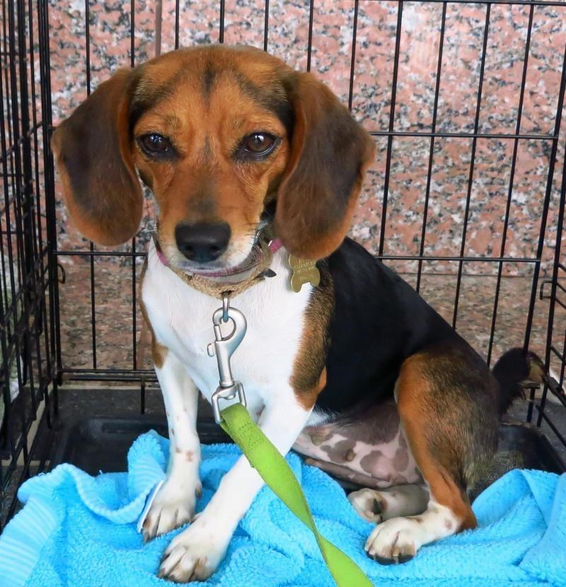 Adopt Roxie on Adoptable beagle, Beagle, Beagle mix