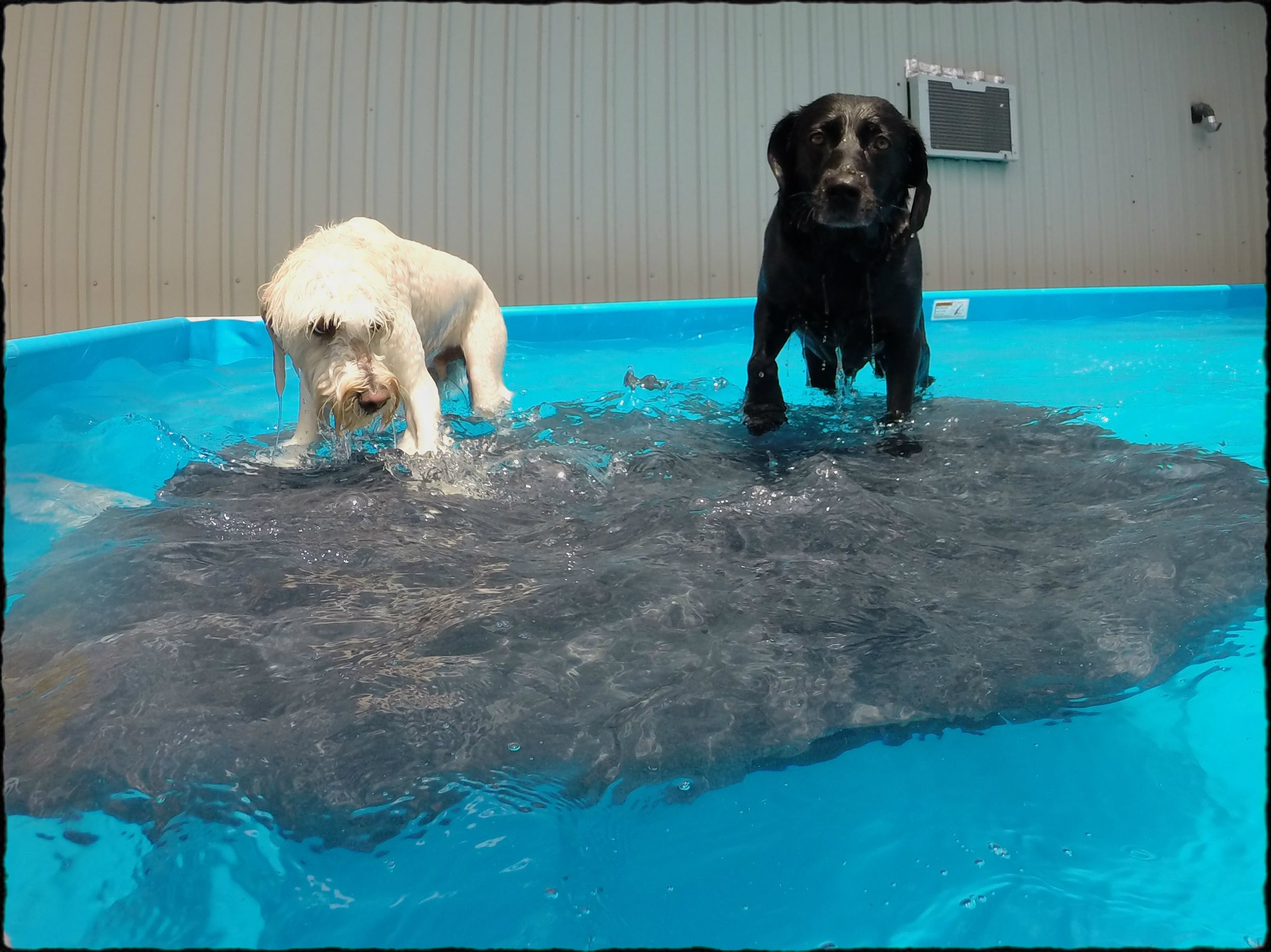 Swimming At Club Canine