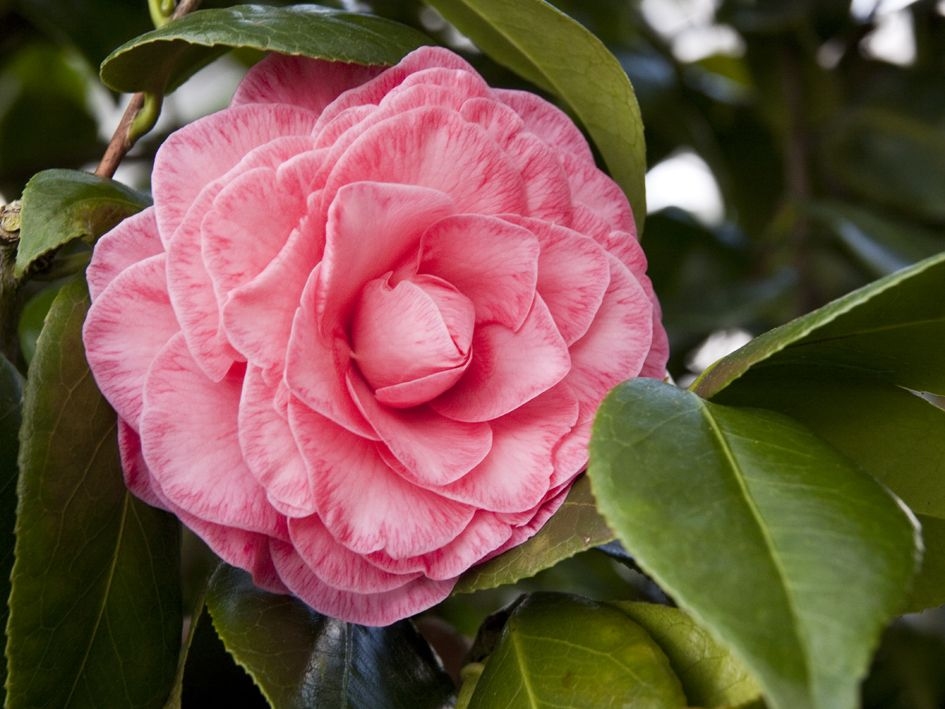 Camellia Japonica Pink Diddy U S 1950 Pink Flower Photos Camellia Pink Flowers