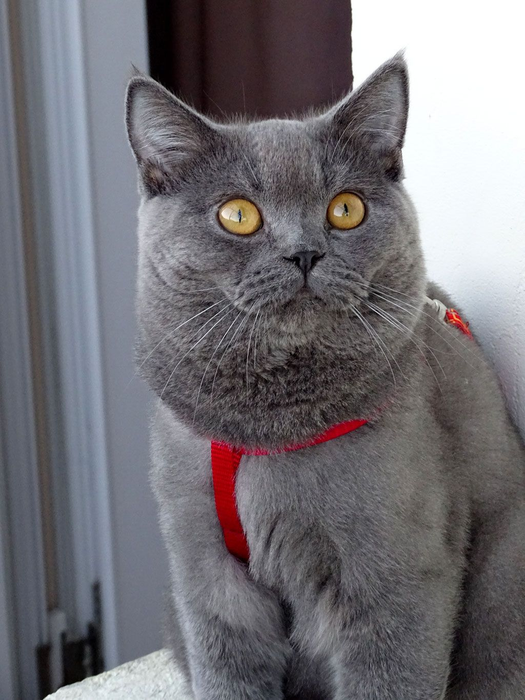 Pin by Michelle Sebesan on Beautiful British Shorthair
