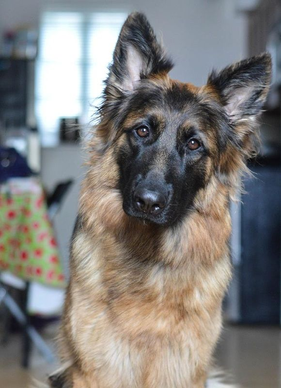 """COURAGE • LOYALTY • INTELLIGENCE • VERSATILITY """"The most striking feature of the correctly bred German Shepherd are firmness of nerves, attentiveness, unshockability, tractability,..."""