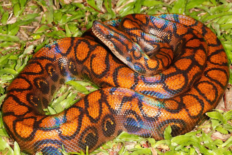 Peruvian Rainbow Boa With Images Snake Rainbow Reptiles