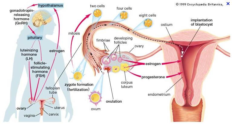 varicoză estrogen