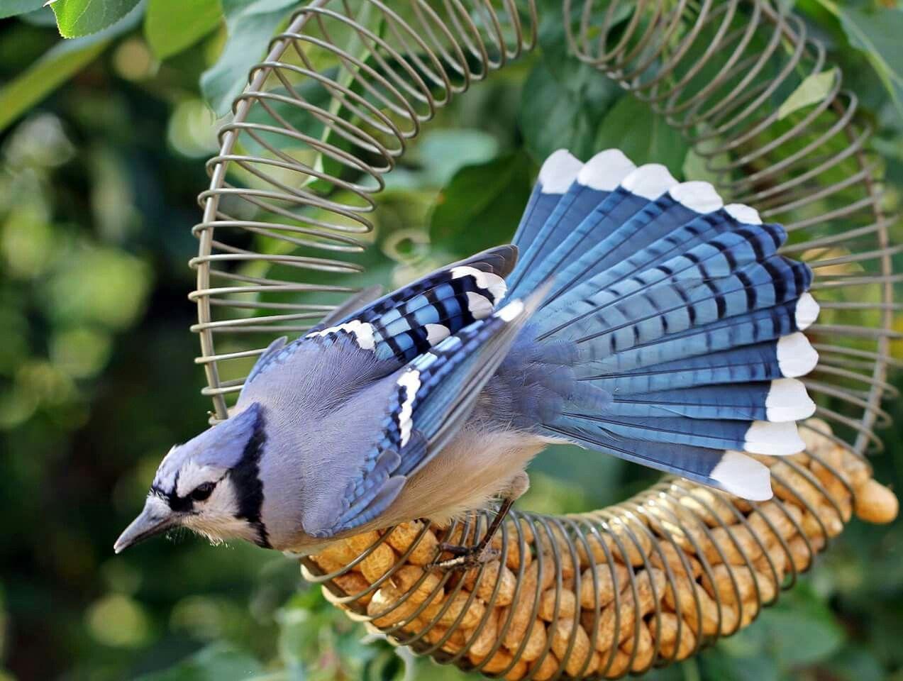 Blue Jay | Backyard birds, How to attract birds, Birds