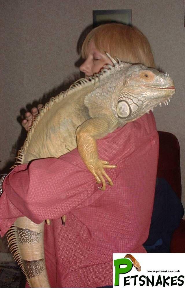 Adult Male Iguana Iguana Pet Cute Reptiles Pets