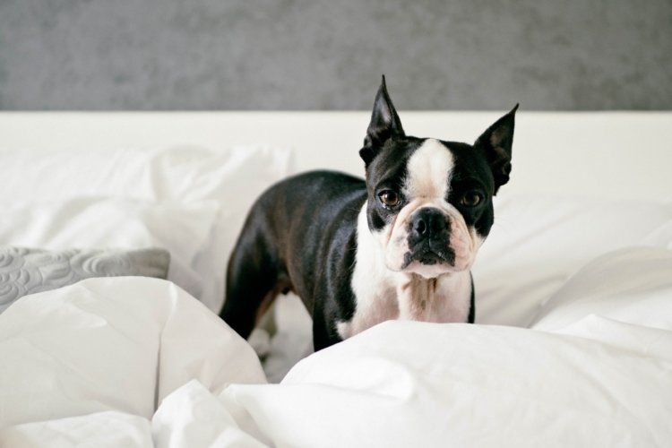 What Is The Fair Housing Act For Emotional Support Animals Esa Doctors Emotional Support Animal Boston Terrier Support Animal