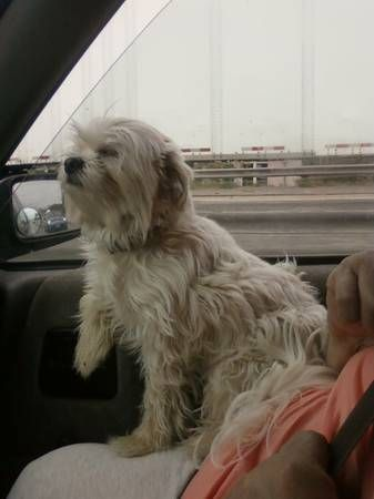 Lost Little White Dog Around Glassel Park Eagle Rock My Name Is