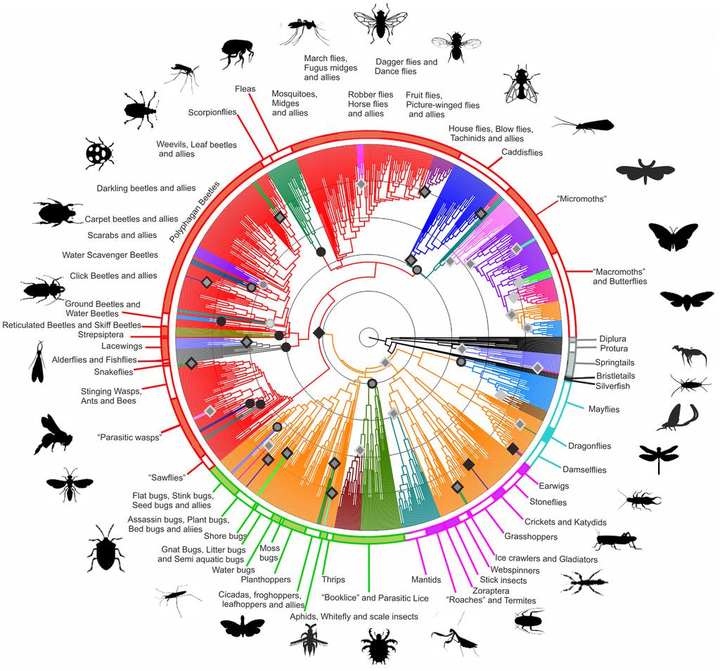 Hexapoda Phylogenetic Tree Mandala Wikipedia Mandala Phylogenetic Tree Knowledge Graph