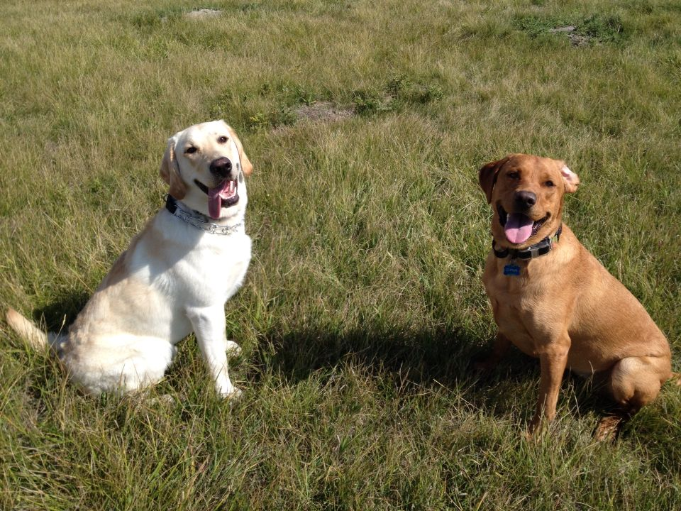 Rossi Yellow Lab At 6 Months And Dyna Fox Red Lab At 14 Months