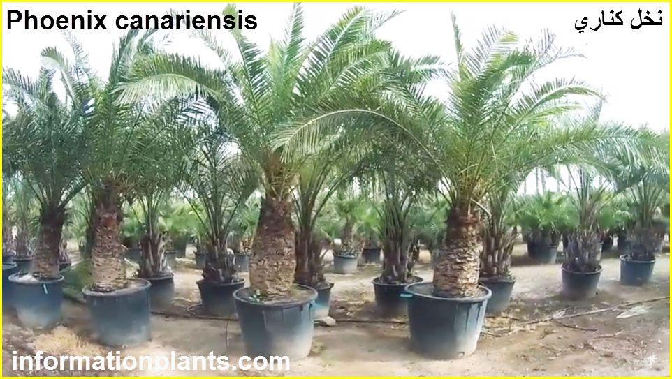 انواع شجر النخيل Phoenix قوائم النبات قوائم النبات معلومان عامه معلوماتية Plants