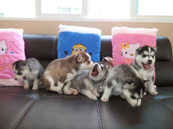Siberian Husky PUPPIES!!  ♡♡♡