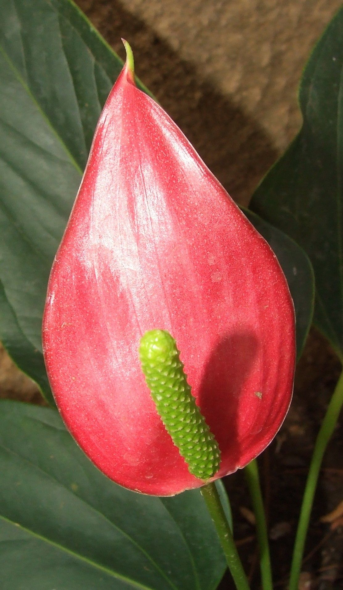 red Peace Lily | Flowers I grew in Africa | Peace lily flower, Peace on low light zz plant, philodendron house plant, lily of the valley plant, spathiphyllum plant, chinese evergreen indoor plant, peace prayer lily plant, lily with beta fish plant, red with a lily like plant bloom, wedding peace lily plant,