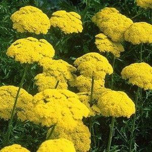Yarrow Seeds For Sale Achillea Perennial Flower Seeds Flowers Perennials Perennials Flower Seeds