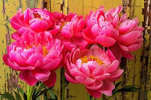 Still Life Peonies Photograph - Peony's Against Yellow Wall by Garry Gay