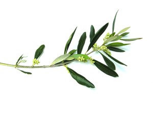 Olive Branch Free Images At Clker Com Vector Clip Art Online Royalty Free Public Domain Olive Tree Tattoos Tree Branch Tattoo Olive Branch Tattoo