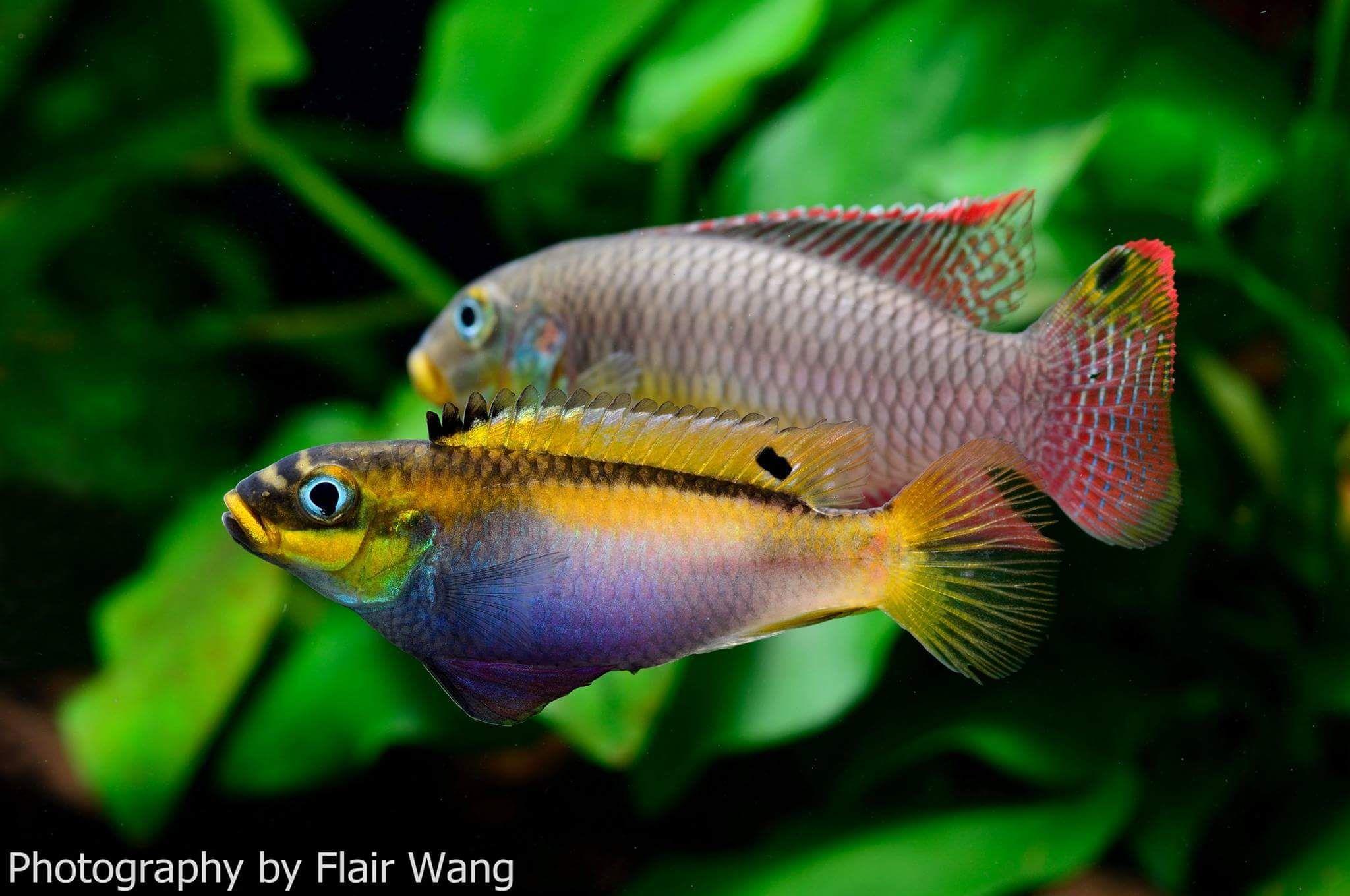 Pelvicachromis Kribensis Bipindi Aquarium Fish Tropical Fish Aquarium Cichlids