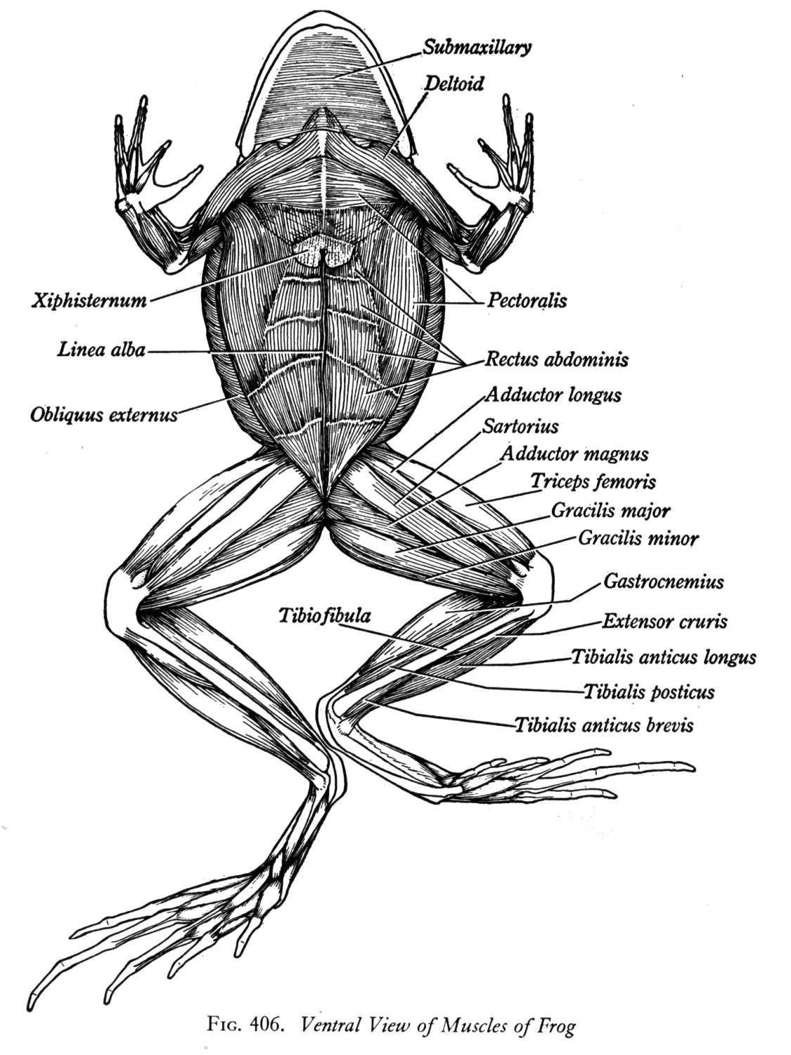 Frog Muscle Anatomy Biology 2 1g 11251500 Dryad Pinterest